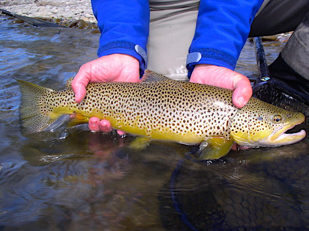 Madison River brown trout 1